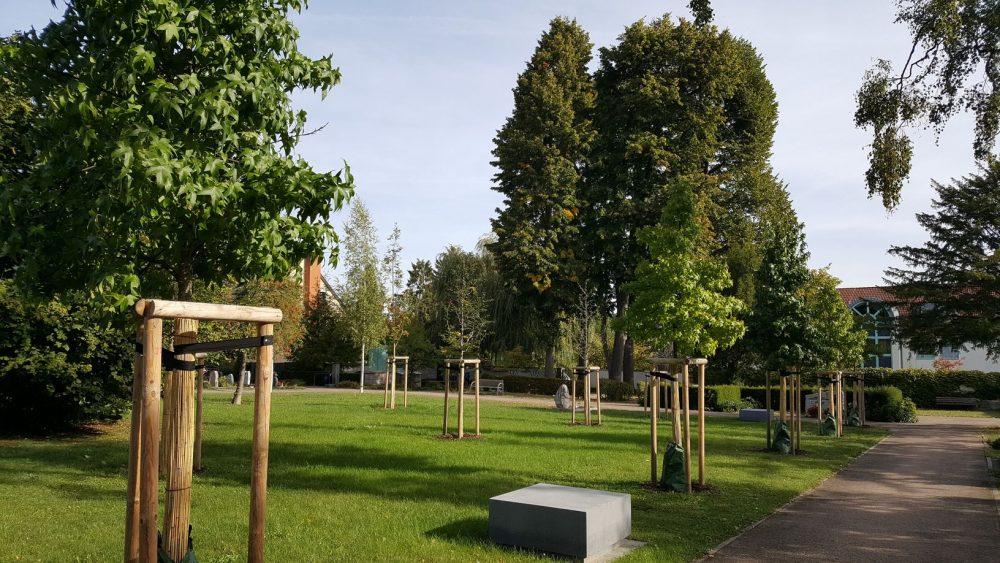 Amberbäume auf einem Friedhof 1 Jahr danach